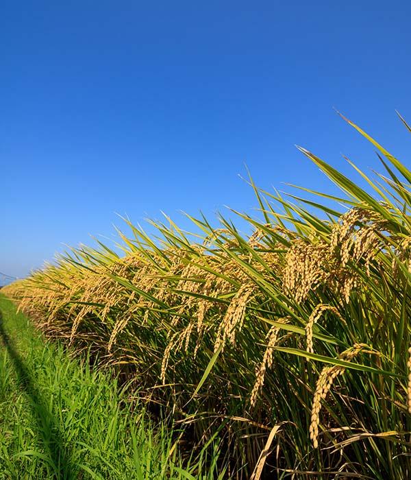 Arroz de Pals. Taxi en Palamós y Calonge te lleva de visita a los arrozales de la Costa Brava.